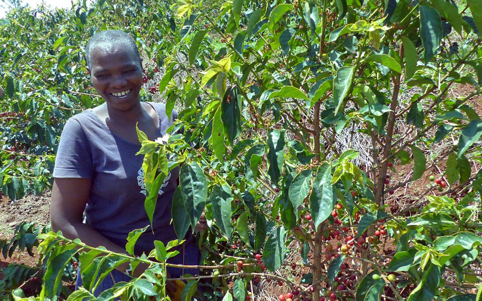 Eine afrikanische Frau bei der Kaffeeernte.
